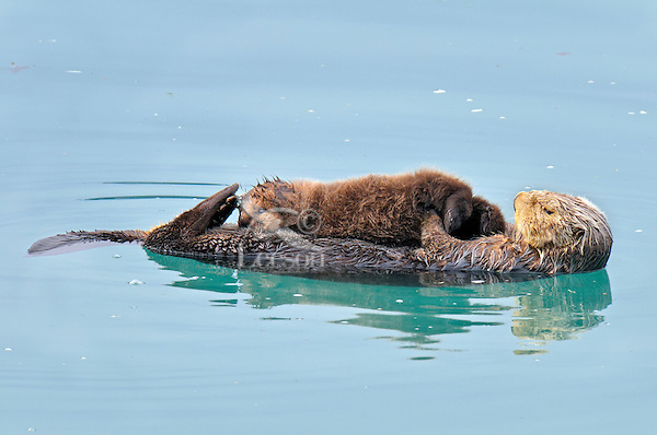 Alaskan or Northern Sea Otter (Enhydra lutris) mother nursing pup.