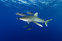 TG0135-Dr. Oceanic Whitetip Shark (Carcharhinus longimanus), and Pilotfish (Naucrates ductor). Pilotfish are semi-obligate commensal symbionts, following sharks, turtles, and other pelagic animals. Found throughout the tropics, pilotfish feed on leftovers from their host meals, as well as parasites and excrement. Egypt, Red Sea.<br /> Photo Copyright &copy; Brandon Cole. All rights reserved worldwide.  www.brandoncole.com