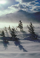Rocky Mountain Douglas fir trees (Pseudotsuga menziesii) in winter wind storm.  Waterton Lakes National Park, Alberta, Canada.