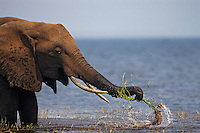 African Elephant washing mud off grass before eating. (Loxodonta Africana) Africa.