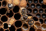 Drone Honey Bees, Emerging, Apis mellifera, Kent UK, hatching from sealed cell in brood chamber, adult