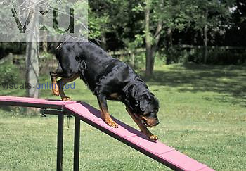 Rottweiler breed of Domestic Dog in agility training.