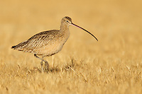 Long-billed Curlew - Numenius americanus