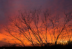 Bare mesquite tree, crimson sky at sunset, Great Plains of northern Texas