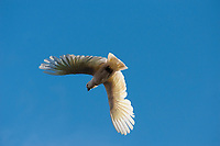 A sulphur crested cockatoo (Cacatua galerita) in flight against a blue sky.