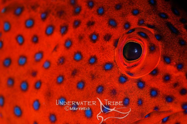 Coral Grouper eye detail, Cephalopholis miniata, Komodo National Park, Nusa Tenggara, Indonesia, Pacific Ocean