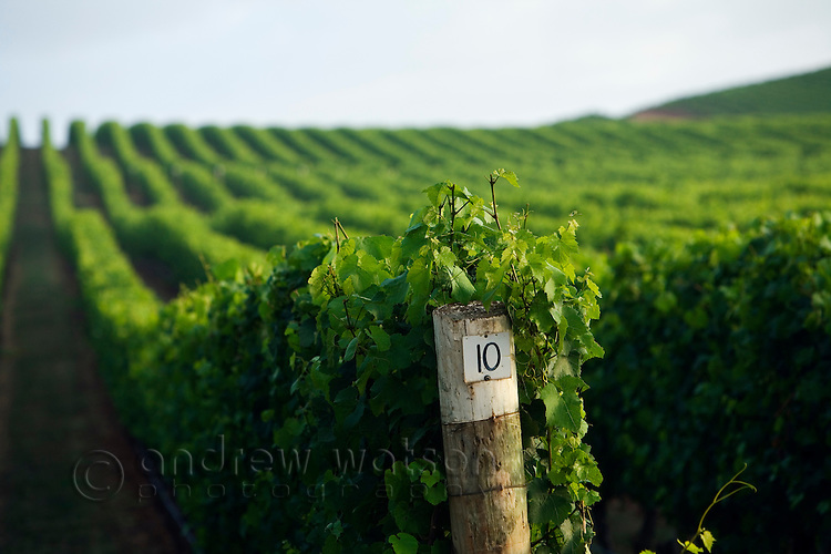 Vineyard in the renowned Pipers River wine region, in Tasmania's northeast.  Pipers River, Tasmania, Australia