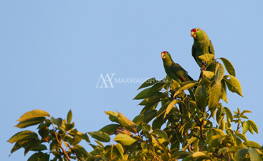 These parrots landed atop a tall tree at the end of the day on the Osa Peninsula.