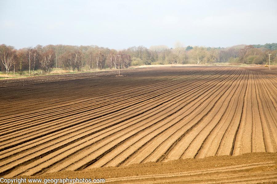 Rows made in sandy soil in field prepared for cultivation, Suffolk Sandlings landscape, Butley, Suffolk, England, UK