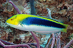 Halichoeres cyanocephalus, Yellowcheek wrasse, Florida Keys