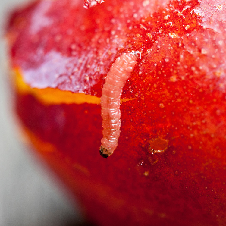 Caterpillar or larva of plum fruit moth (Cydia funebrana). Sometimes called a red plum maggot.