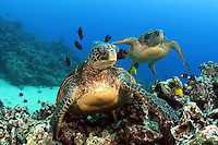 These green sea turtles, Chelonia mydas, an endangered species, are having thier shells cleaned by goldring surgeonfish, Ctenochaetus strigosus, off Maui, Hawaii.