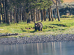 A grizzly bear walks by the Yellowstone River in Yellowstone National Park.