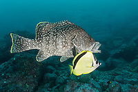 Dermatolepis dermatolepis, Leder Zackenbarsch mit Barbier Falterfisch, Leather bass with Barberfish or Blacknosed butterflyfish, Insel Malpelo, Kolumbien, Ost Pazifik, Malpelo Island, Colombia, East Pacific Ocean, Santuario de Fauna y Flora Malpelo, UNESCO Weltnaturerbe, Malpelo Nature Reserve, World Heritage Site