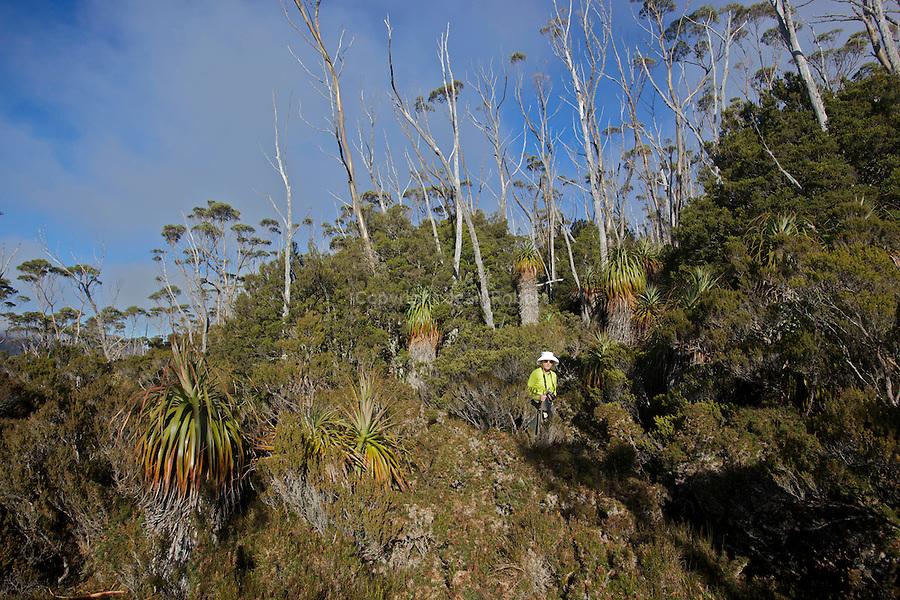 .The prominent spiky pandani is one of the world's tallest heath plants..Pandani (richea pandanifolia) endemic to tasmania...Pandani (richea pandanifolia) cette variété de bruyère est la plus haute au monde.Comme beaucoup de plantes de Tasmanie, elle partage un ancètre commun avec des espèces de Nouvelle Zélande et d'Amérique du Sud, terres qui étaient autrefois réunies en un même continent, le Gondwana