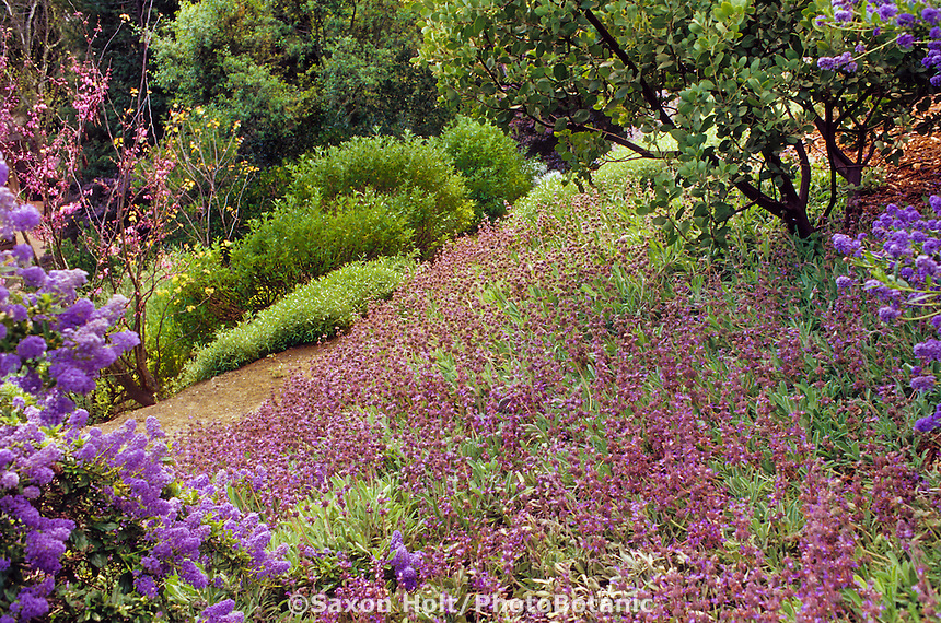 Salvia sonomensis - Bees Bliss; native sage groundcover in California native plant garden on slope