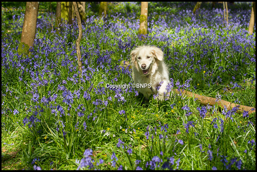 BNPS.co.uk (01202 558833)<br /> Pic: PhilYeomans/BNPS<br /> <br /> Golden Retreiver Ruby gets down amongst the stunning display of bluebells in Garston Wood in Dorset.<br /> <br /> The warm dry spring has produced an amazing show of early colour this year in the RSPB maintained reserve near Sixpenny Handley.