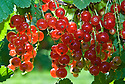 Redcurrant 'Rovada', end June.