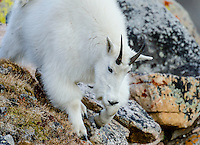 Mountain Goat Billy (Oreamnos americanus) in the Beartooth Mountains of Southern Montana/Northern Wyoming.  Sept.