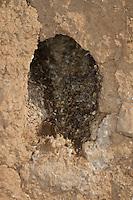 Eisvogel, Eis-Vogel, Eingang zum Nest in einer steilen Lehmwand, Steilwand, Neströhre, Bruthöhle, Nisthöhle, Brutröhre, Niströhre, Kotreste zeigen an, dass die Höhle besetzt ist, Alcedo atthis, Kingfisher, Martin-pêcheur d´Europe