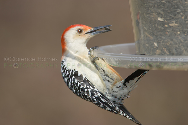 Red-bellied Woodpecker (Melanerpes carolinus) eating sunflower seeds from a backyard feeder