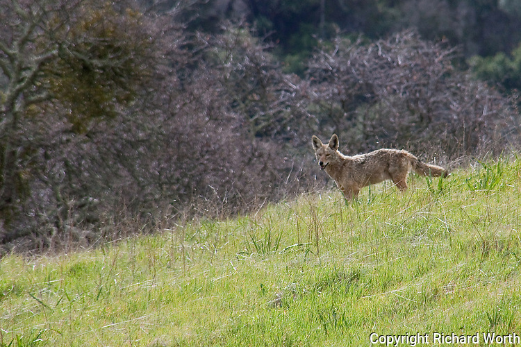 A coyote prowling the foothills of Mount Diablo, California.
