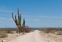 Large Cardon Cactus (Pachycereus pringlei) and dirt road, Baja California, Mexico