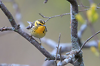 Blackburnian Warbler (Setophaga fusca), female in breeding plumage, a spring migrant to Magee Marsh in Oak Harbor, Ohio foraging.
