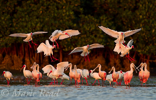 White Ibis (Eudocimus albus) flying in to join mixed flock of White Ibis and Roseate Spoonbills (Ajaia ajaja) all in breeding plumage, Tampa Bay, Florida, USA<br /> (One bird removed at left)