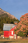 Red barn and fall colors in the Bitterroot Valley