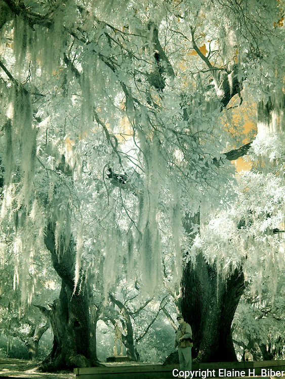 Romantically ethereal Spanish moss drapes ancient live oak