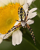 In North America, Argiope aurantia is commonly known as the Writing Spider because of the similarity of the web stabilimenta to writing.<br /> AKA yellow garden spider and corn spider..