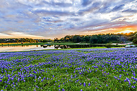 We captured this gorgeous pre-sunset landscape with the bluebonnets one evening while at a county park along the  Colorado river in Texas.  The sky was showing some signs of possibly being a really good sunset,  the clouds were sorty of heavy but had some interest as we came to find out it turned out beautiful. Loved these beautiful bluebonnets along the Colorado river with these nice reflections in the water at the Turkey Bend Pak.