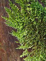Zypressen-Schlafmoos, Zypressen - Schlafmoos, Zypressenschlafmoos, an Totholz wachsend, Hypnum cupressiforme