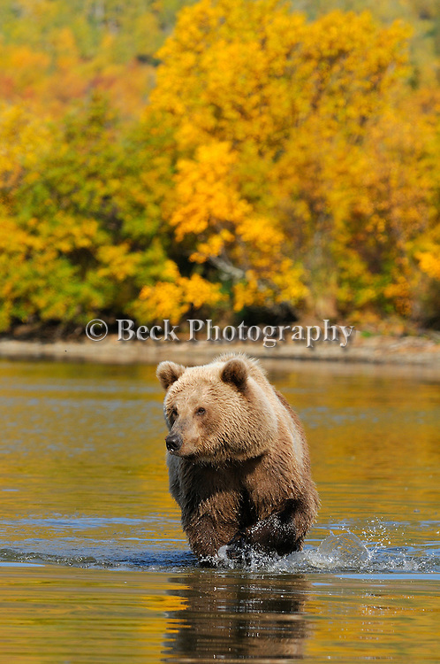 A lone grizzly bear, Ursus arctos horribilis, wades across the river in Alaska in the fall.