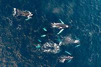 Luftaufnahme von einer Schule von Buckelwalen (Megaptera novaeangliae) , Kvaloyvagen, Norwegen, Atlantik, Atlantischer Ozean / Aerial view of a shool of humpback whales (Megaptera novaeangliae), Norway, Atlantic Ocean