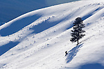 Lone Pine Tree on Snowy Hill, Yellowstone NP, WY, USA