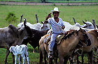 Mexican cowboy or campesino on his horse herding cattle and a young calf