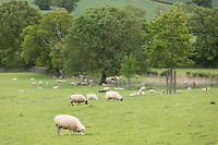 Sheep grazing pasture land<br /> ©Tim Scrivener Photographer 07850 303986<br />      ....Covering Agriculture In The UK....