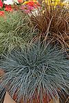 ORNAMENTAL GRASSES IN POT, FESTUCA OVINA, CAREX 'BRONCO', AND CAREX 'AMAZON MIST'
