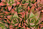 Cactus Succulent plant showing radial symmetry, Ria Formosa East, Praia do Barril Beach, Algarve, Portugal