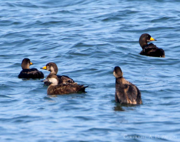 Black scoter flock, immatures and adult