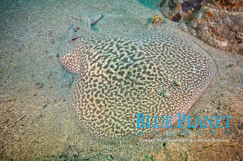 marbled electric ray, Torpedo marmorata, El Cabron Marine Park, Arinaga, Gran Canaria, Canary Islands, Spain, Atlantic Ocean