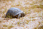 Desert Tortoise (gopherus agassizii) in it's native habitat in the Western Mojave Desert of California