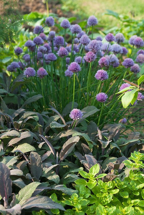 Flowering chives with marjoram and purple sage, late May.