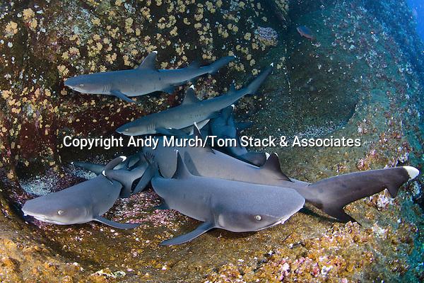 Whitetip Reef Shark, Triaenodon obesus, Roca Partida, Socorro, Revillagigedo Islands, Mexico, Eastern Pacific.