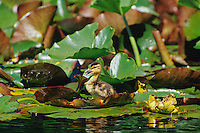 Mallard Duck duckling on lily pad.