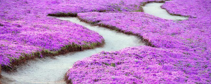 Purple ice plant blossoms and trail. Pacific Grove, California.
