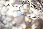 A composite of magnolias in Boston Public Garden in Boston, MA, USA