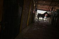 VILLAVICENCIO -COLOMBIA. 13-10-2018: Caballos de coleo durante el 22 encuentro Mundial de Coleo en Villavicencio, Colombia realizado entre el 11 y el 15 de octubre de 2018. / Coleo horses during the 22 version of the World  Meeting of Coleo that takes place in Villavicencio, Colombia between 11 to 15 of October, 2018. Photo: VizzorImage / Gabriel Aponte / Staff